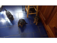 Yorkshire terriers puppies for sale.