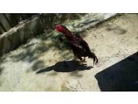 Mianwali Aseel cockerel for sale