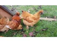 Chickens. Buff Silkies