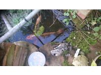 """Male koi carp 15"""" Friendly and healthy, deserves a bigger pond & we need the space for new baby fish"""