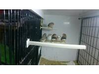 Two pairs of zebra finches