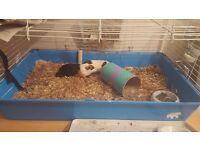 2 x male guineas pigs with cage, bedding, hay etc for sale