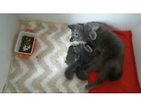 Russian Blue Kittens (pure)for sale, ready 23rd April