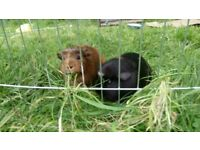 Guinea Pigs for sale with Hutch and Run