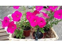 Pretty pink petunia plants - only 50p each (Avail. from 16 June)