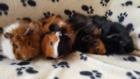 Baby Guinea-pigs for Sale