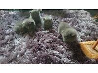 Pedigree British blue shorthair kittens