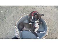 Boston terrier boy 12 weeks