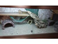 Bearded dragon with full set up £100 ono