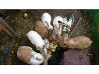 Rabbit's for sale