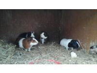 Four lovely guinea pigs