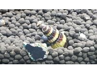 free assissan snails