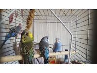 Adult Budgies (2 for £35)