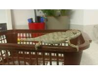 Baby nosy be lizards