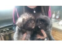 Pugeness x pugapoo puppies,vacinated ,microchiped,vet checked,stunning