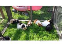 Baby Guinea Pigs..... Ready Now!