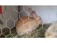 Baby Giant Continental Rabbits for sale