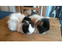 beautiful guinea pigs need new home