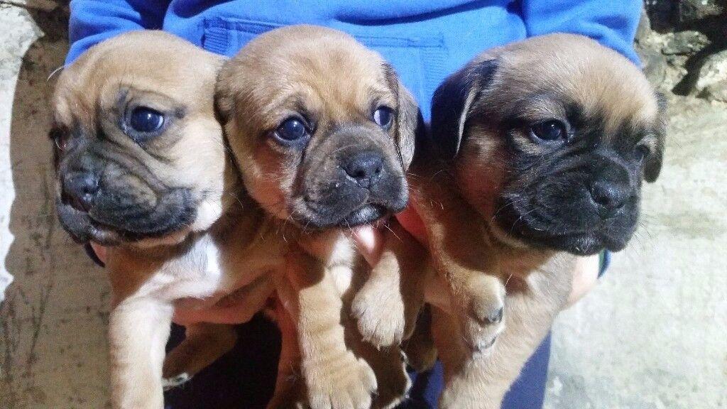 (puggle) pug x beagle
