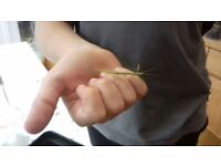 Indian Stick Insects For Sale