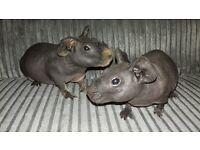 120.00 for the pair Skinny pigsows(female). 14 weeks old. 1 gold and black agouti and 1 self black.