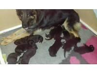Beautiful kc registered german shepherd puppies