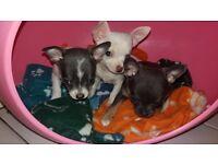 Pedigree chihauhau puppies