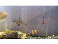 clown loach fish 4 inch long