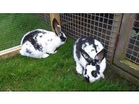 2 x Baby Female Rabbits
