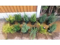 12 DWARF CONIFER TREES - HIGH QUALITY GARDEN PLANTS - 2L POTS