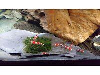 Aquarium shrimps (CRS Crystal Red Shrimps)