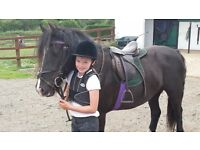 Stunning 14hh cob cross for sale -ideal project pony