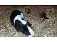 male and female guinea pigs