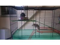 2 female gerbils with cage