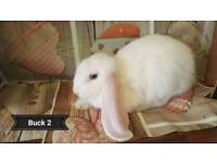 Giant French lop baby boys
