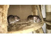 Young female Rats (FREE TO GOOD HOME!)