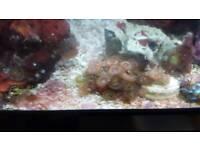 Zoa marine coral frag