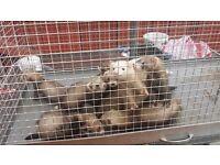 Ferret/Polecats babies