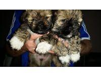 Lhasapso Pups
