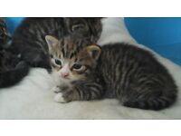 Male kitten £30 SOLD!