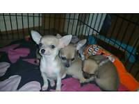 5 chihuahua pups for sale