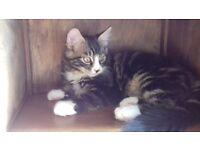 Adorable Long Hair Kitten for Sale