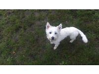1 year old West Highland Terrier