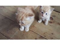 male long haired kittens for sale