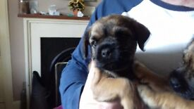 Female Border Terrier puppy for sale