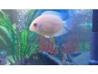 Gold severum, Electric blue acara, Philippine blue angelfish