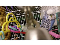4 budgies and cage with toys
