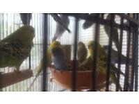 Healthy budgies
