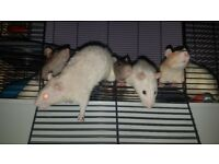 5 male PET rats and large cage
