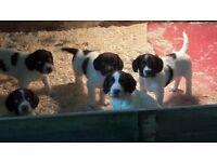 English springer spaniels kc reg dog pup puppies